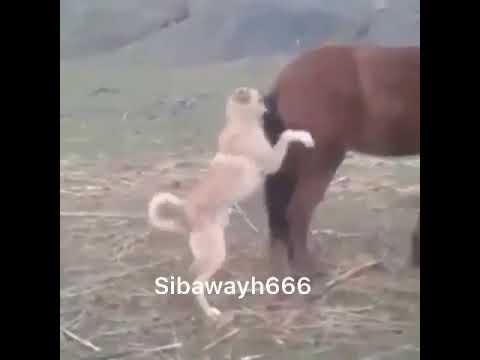 Dog mating with a horse