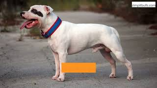 What Are Bait Dog Pit Bulls Used For? (What Bait Dogs Are Known For)