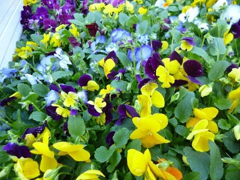 29.10.26カトリホーム環境ボランティア活動(花植え)②