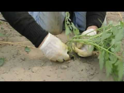 Cannella contro helminths