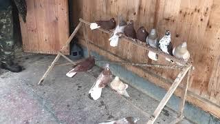 Мои голуби / 03.01.2019 / Видео 1