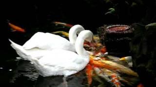 Swans feeding koicarp