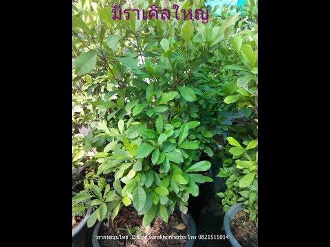 สมุนไพรไทย Thai herbs Ep2 ต้นมิราเคิล ต้นมหัศจรรย์ เปลี่ยนเปรี้ยวเป็นหวาน
