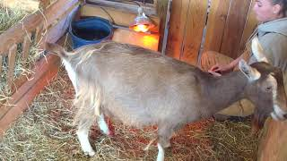 Goat Gives Birth to Twins!   Amy's Delivery   Syman Says Farms