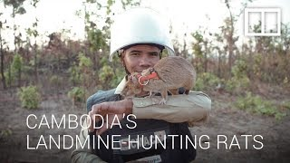 Cambodia's hero rats hunt landmines and save thousands of lives
