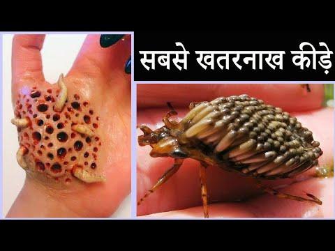 Paraziták a sündisznókon