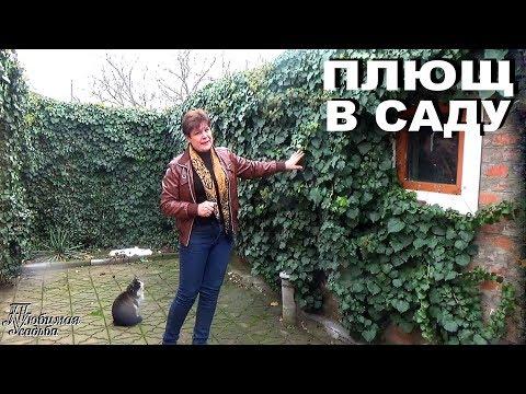 Как вырастить плющ в саду   Ответы на самые частые вопросы