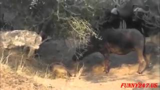 Wild word-Big Batlle Group Buffalo Kill Lion to die ☆ Animals Attack