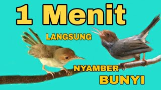 Suara Burung PRENJAK Jantan Dan PRENJAK Betina GACOR Cocok Buat MASTERAN Dan PIKAT