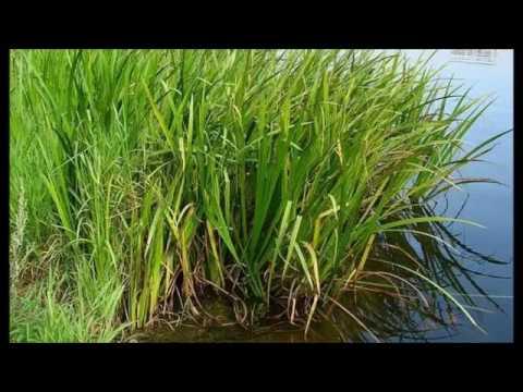 Аир обыкновенный, болотный. Лечебные травы.Рецепты народной медицины.