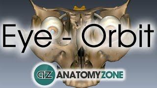 Orbit | Eye Anatomy