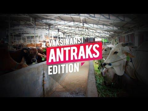 Mengenal Penyakit Anthrax dan Pencegahannya pada Sapi