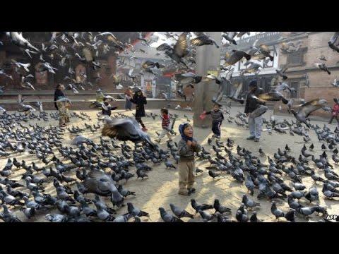 Video Ternak Merpati Terbesar Di Dunia - Ribuan Merpati Dalam satu Kandang