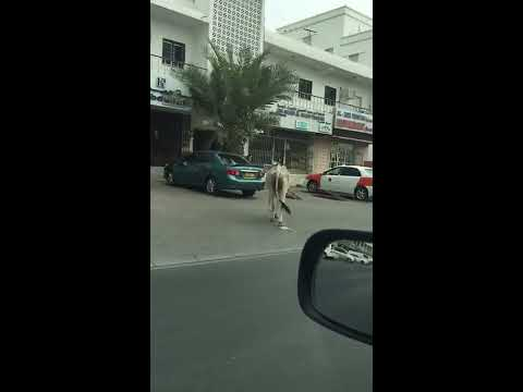 Video: Man catches runaway bull on Muscat road
