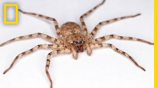 High-Speed Video Shows How Flattie Spiders Attack With World's Fastest Spin | National Geographic