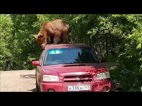 Медведь пытался вскрыть автомобиль Subaru на Камчатке
