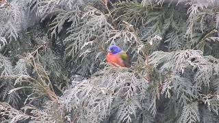 Painted Bunting in Western PA