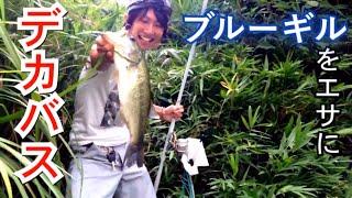 【究極の釣り】ブルーギルを泳がせてたら衝撃の瞬間が撮れた!!【前編】