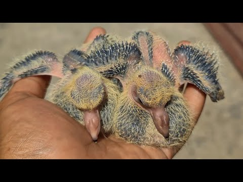 , title : 'How do I take care of baby pigeons ?   Pet Care