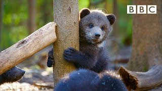 Orphaned Bear Cubs Incredible Recovery Story 😍🐻- BBC