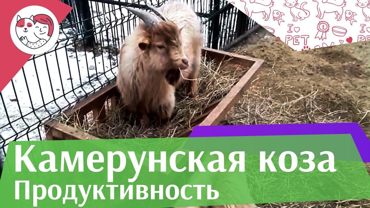 Камерунская  коза  Продуктивность на ilikepet
