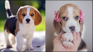 Funny And Cute Beagle Puppies Compilation #2 - Cutest Beagle Puppy