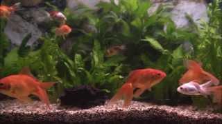 Классический аквариум с золотыми рыбками