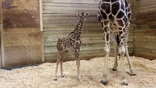 Baby Giraffe At Zoo Takes First Steps Minutes After Being Born