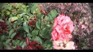 Летняя обрезка роз видео