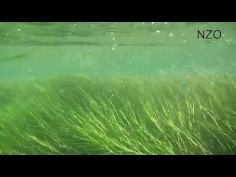 Rothobornpader unter Wasser