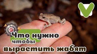 Выращивание жабят на примере бурых жаб