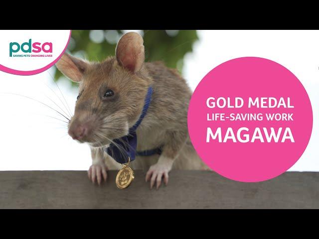 Крыса-сапер Магава получила золотую медаль «За отвагу»