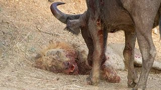 Life Is Not Easy With The Lion King! Lions Failed To Control Prey, Buffalo, Zebra, Hyena, Crocodile