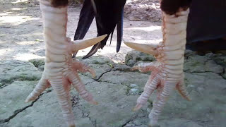 10 đôi chân gà đáng sợ nhất thế giới | chân gà quá khủng