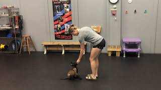 8 week old puppy recall| Puppy obedience class