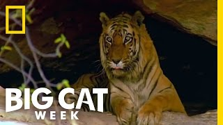 Meet the Tiger Family | Tiger Wars