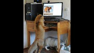 Вы Готовы? Тогда смотрите: Смешные приколы про животных. Домашняя Лиса!