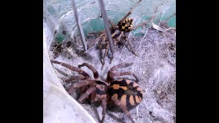The Death of a Male with the Deadly Tarantula Girl