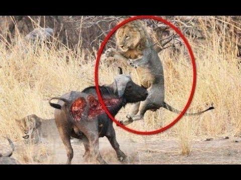 Lion vs Buffalo, Lion attack Buffalo - Wildlife Wild dog, Hyenas, Boar, Leopard