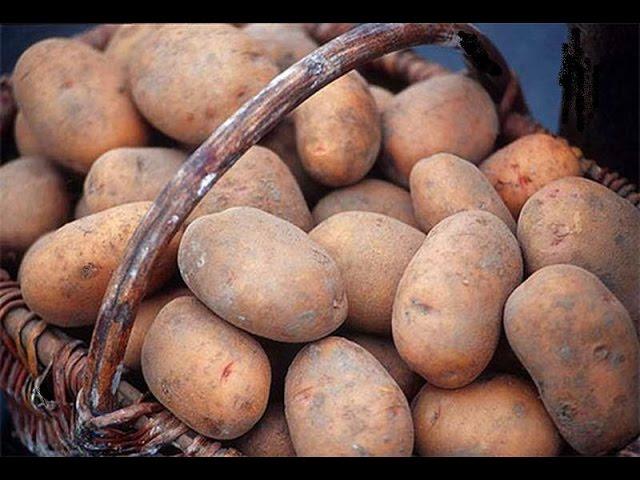 Бесплатная картошка