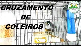 REPRODUÇÃO DE COLEIRO