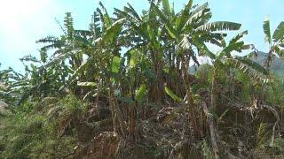 Tin Tức 24h: Nhiều hecta chuối chết do sâu bệnh ở Lai Châu