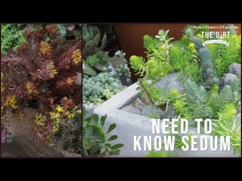 All About Sedum   The Dirt   Better Homes & Gardens
