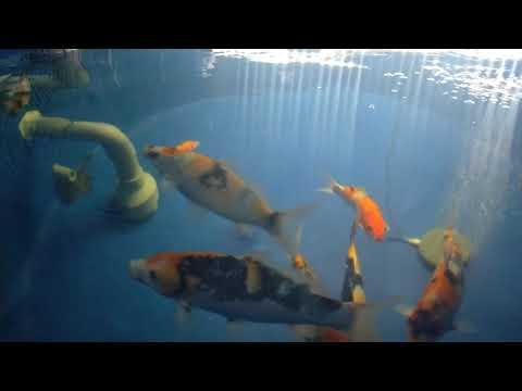 Hồ cá Koi ngày 18-01-2021 | btkoi.com