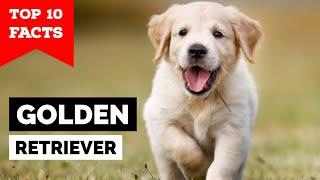 Golden Retriever - Top 10 Facts