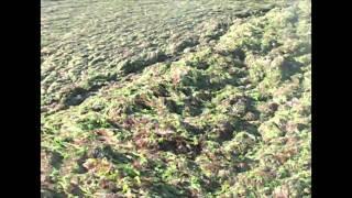 preview picture of video 'Piriac-sur-mer algues vertes sur la plage Saint-Michel le 25 août 2010'