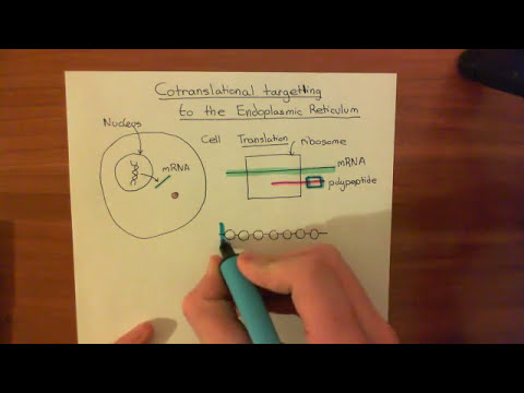 Cotranslational Targeting of Protein to the Endoplasmic Reticulum Part 1