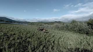 DJI FPV Drone Elk Across The River