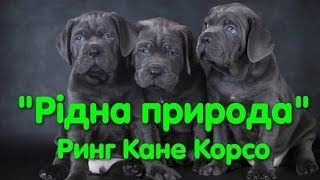 Выставка собак. Ринг Кане-корсо. Рідна природа. Одеса. КСУ. CAC-UA. Супер собаки. Dog show. VLOG DOG