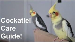 Cockatiel Care Guide   Everything You Need To Know!   BirdNerdSophie
